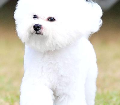 Cambeas Bichon Frise Puppy Breeder